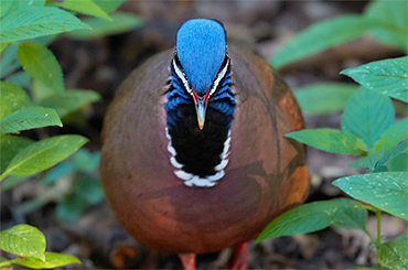 Cuban Blue-Headed Quail-Dove.