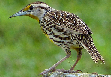 Cuban Eastern Meadowlark.