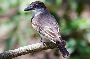 Cuban Giant Kingbird .