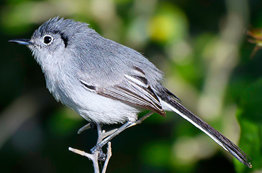 Cuban Gnatcatcher bird.