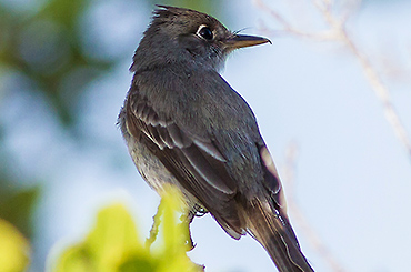Cuban Pewee bird.