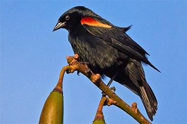 Cuban Red-Shouldered Blackbird.