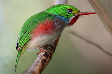 Cuban Tody bird.