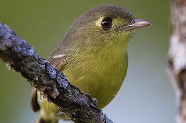 Cuban Thick-Billed Vireo.