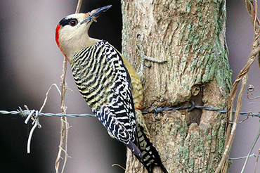 Cuban West Indian Woodpecker.