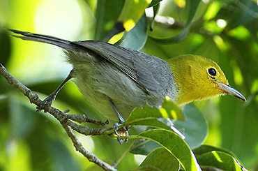 Cuban Yellow-Headed Warbler.